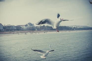 Germany, Mecklenburg-Western Pomerania, Ruegen, Binz, seagulls in the air - MJF000942