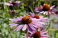 Germany, Close up of purple coneflowers - LBF000633