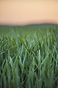 Germany, Rhineland-Palatinate, Wheat field in early summer - PAF000555