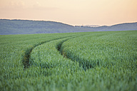 Germany, Rhineland-Palatinate, Wheat field in early summer - PAF000553