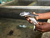 Sri Lanka, Hegalla Piyagama, Kosgoda, Breeding station for sea turtles - AM001982