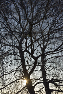 Two bare trees in back light - AXF000630