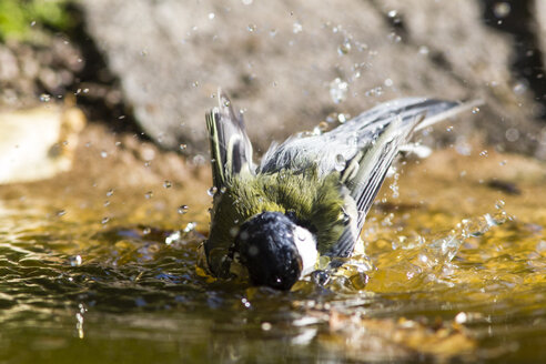 Germany, Hesse, Bad Soden-Allendorf, Great tit in water - SR000433