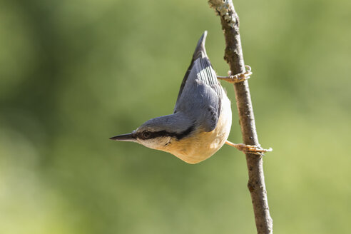 Germany, Hesse, Bad Soden-Allendorf, Eurasian Nuthatch, Sitta europaea, perching on branch - SR000436