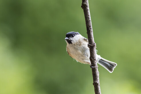 Germany, Hesse, Bad Soden-Allendorf, Marsh tit, Poecile palustris, perching on branch - SR000432