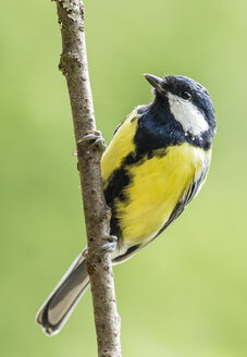 Germany, Hesse, Bad Soden-Allendorf, Great tit perching on branch - SR000438