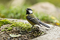 Germany, Hesse, Bad Soden-Allendorf, Great tit on stone - SR000429