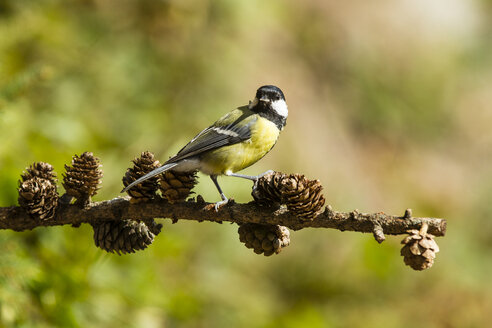 Germany, Hesse, Bad Soden-Allendorf, Great tit perching on branch - SR000419