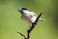 Germany, Hesse, Bad Soden-Allendorf, Marsh tit, Poecile palustris, perching on branch - SR000417
