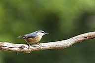 Germany, Hesse, Bad Soden-Allendorf, Eurasian Nuthatch, Sitta europaea, perching on branch - SR000414