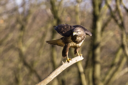 Germany, Hesse, Common buzzard, Buteo buteo - SR000409