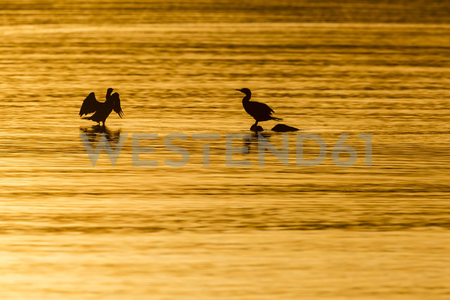 Germany, Timmendorfer Strand, Cormorants at Baltic Sea - SR000408 - Stephan Rech/Westend61