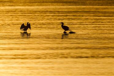 Germany, Timmendorfer Strand, Cormorants at Baltic Sea - SR000408
