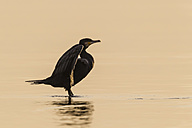 Germany, Timmendorfer Strand, Cormorant at Baltic Sea - SR000447