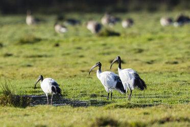 Germany, Niendorf, Africa Sacred ibisses - SR000448
