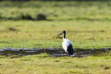 Germany, Niendorf, Africa Sacred ibis - SR000449