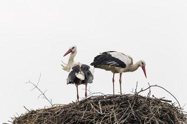 Germany, Storks with nest on roof - SR000455