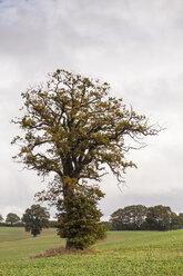 Germany, Oak tree in field near Altenkrempe - SR000460