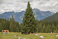 Austria, Gosau, cows and horses on alpine meadow - KVF000044