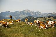 Austria, Gosau, cows on alpine meadow - KVF000048
