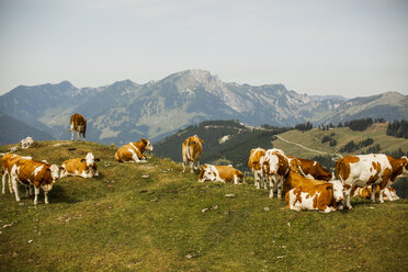 Austria, Gosau, cows on alpine meadow - KVF000048