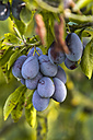 Germany, Hamburg region, Plums on tree - KRPF000396