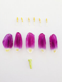 Purple Tulip in parts - AFF000041