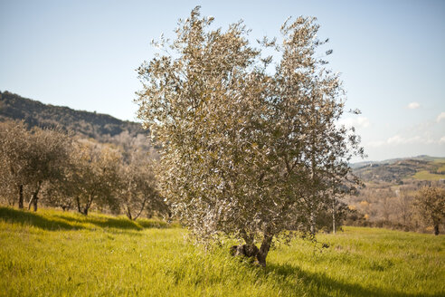 Italy, Tuscany, Volterra, olive tree on meadow - KVF000070