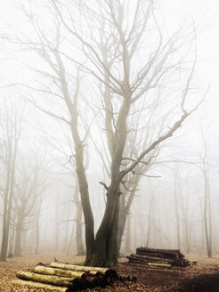 Morning fog in the forest of the Harburg Hills, Hamburg, Germany - MSF003503