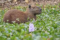 South America, Brasilia, Mato Grosso do Sul, Pantanal, Capybara, Hydrochoerus hydrochaeris, Water hyacinth, Eichhornia - FOF006395