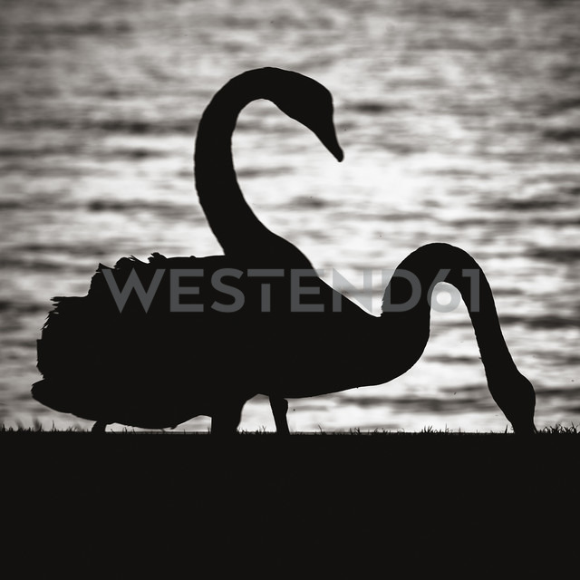 New Zealand, Lake Taupo, silhouettes of two swans - WV000544