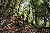 New Zealand, Whakapapa area, Tupapakurua falls track, rain forest - WV000549