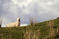 New Zealand, Wanganui, sheep on pasture - WV000557