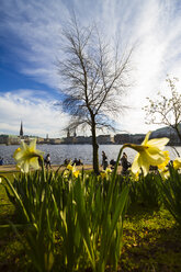 Germany, Hamburg, Inner Alster Lake in spring, daffodils in the foreground - KRP000406