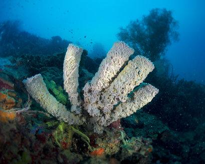 Philippines, Pacific Ocean, Callyspongia sponge - JWAF000021