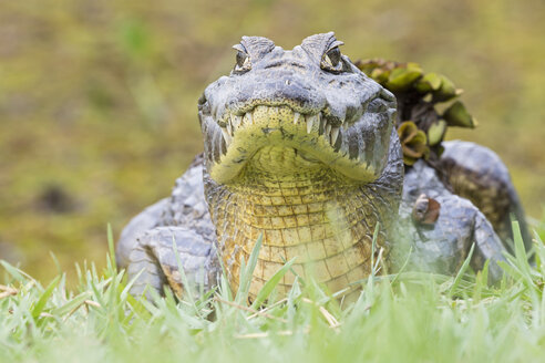 South America, Brasilia, Mato Grosso do Sul, Pantanal, Yacare caiman, Caiman yacare - FOF006407
