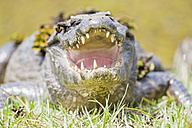 South America, Brasilia, Mato Grosso do Sul, Pantanal, Yacare caiman, Caiman yacare - FOF006409