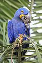Brazil, Mato Grosso, Mato Grosso do Sul, Pantanal, hyazinth macaw, Anodorhynchus hyacinthinus - FOF006414