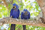 Brazil, Mato Grosso, Mato Grosso do Sul, Pantanal, hyazinth macaws ,Anodorhynchus hyacinthinus, sitting on branch - FOF006415
