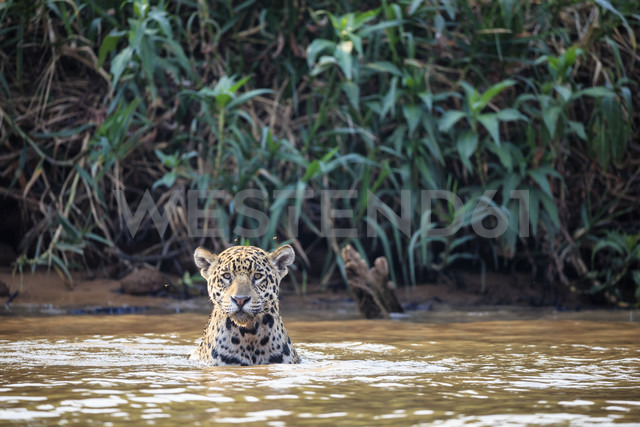 South America, Brasilia, Mato Grosso do Sul, Pantanal, Cuiaba River, Jaguar, Panthera onca, in water - FOF006356