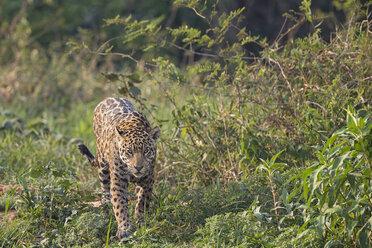 South America, Brasilia, Mato Grosso do Sul, Pantanal, Jaguar, Panthera onca - FO006359