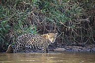 South America, Brasilia, Mato Grosso do Sul, Pantanal, Cuiaba River, Jaguar, Panthera onca - FO006360