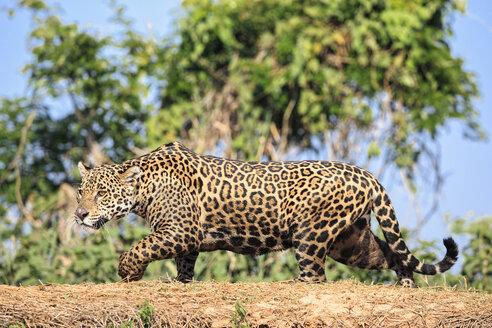 South America, Brasilia, Mato Grosso do Sul, Pantanal, Cuiaba River, Jaguar, Panthera onca - FO006366