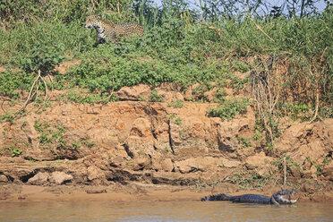 South America, Brasilia, Mato Grosso do Sul, Pantanal, Cuiaba River, Jaguar, Panthera onca and Yacare caiman, Caiman yacare - FOF006371