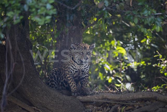 South America, Brasilia, Mato Grosso do Sul, Pantanal, Jaguar, Panthera onca - FOF006373