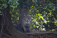 South America, Brasilia, Mato Grosso do Sul, Pantanal, Jaguar, Panthera onca - FOF006373