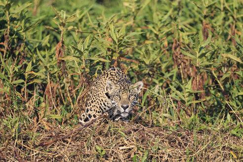 South America, Brasilia, Mato Grosso do Sul, Pantanal, Jaguar, Panthera onca - FOF006374