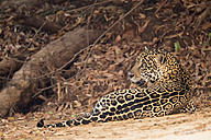 South America, Brasilia, Mato Grosso do Sul, Pantanal, Jaguar, Panthera onca - FOF006381
