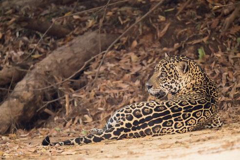 South America, Brasilia, Mato Grosso do Sul, Pantanal, Jaguar, Panthera onca - FOF006381