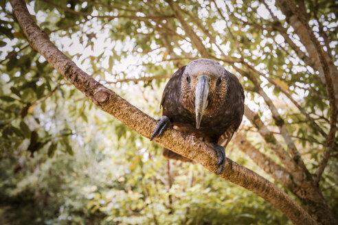 New Zealand, Pukaha Mount Bruce National Wildlife Centre, Kaka (Nestor meridionalis) - WV000573